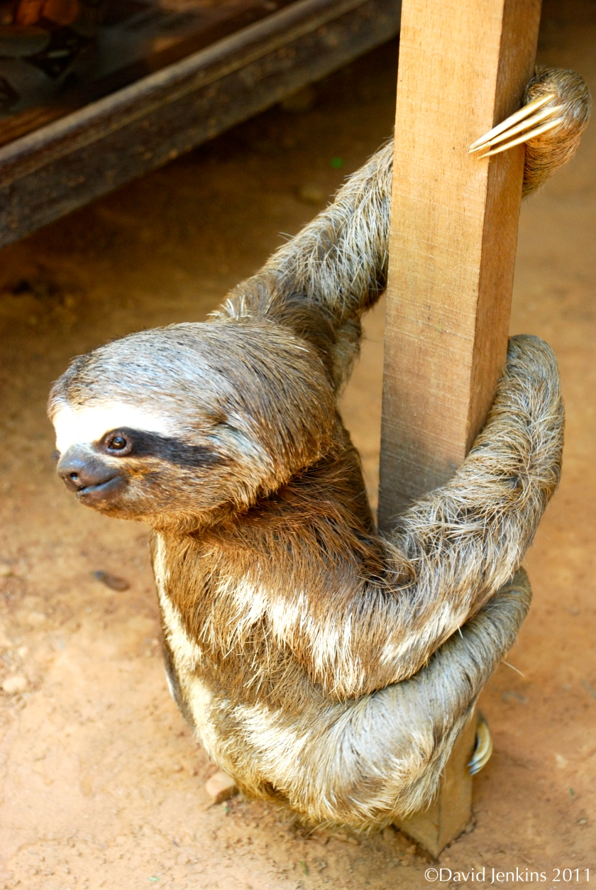 Sloth chilling on a pole in Peru.